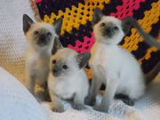 Siamese Kittens for sale Six beautiful kittens For Rehoming