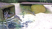 Pleco L046 AND OTHERS WHOLESALES PRICES